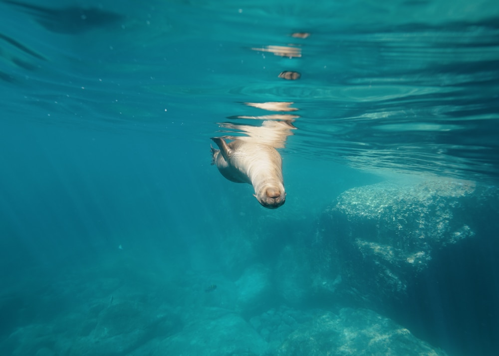 Playfull sea lion at Espiritu Santo