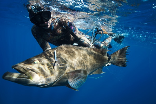 Spearfishing Broomtail Grouper